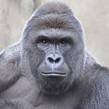 ¿Gorila abatido en zoológico de EE.UU. quiso salvar a niño que cayó a su fosa? Dramática interpretación