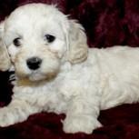 """Cava-Poo-Chon: La intervención genética para crear diminutos """"cachorros por siempre"""""""