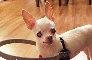 Perro ciego camina libremente gracias a ingenioso invento de sus amos