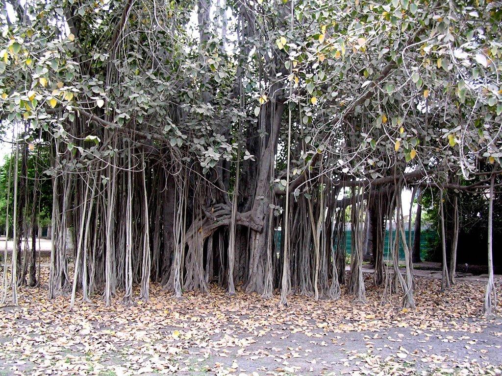 Árbol Banyan