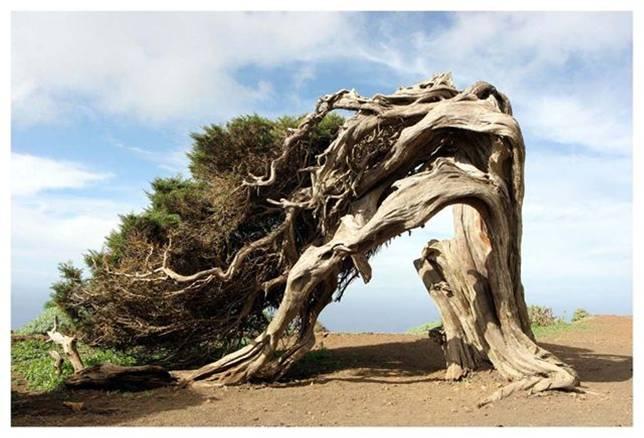 Árbol de la Sabina