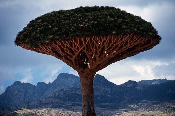 Árbol del dragón