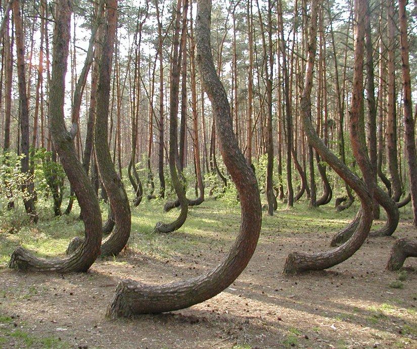Bosque de los pinos torcidos
