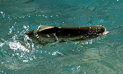 Trucha Arcoiris tomando en superficie