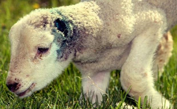 Ataque ovejas