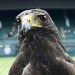 La sorprendente historia de Rufus, el halcón que custodia las canchas de Wimbledon