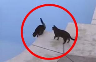 Gato empuja a otro a la piscina y se transforma en viral