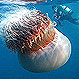 Video: Captan a una misteriosa medusa gigante en las profundidades del mar