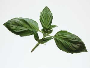 Gu a de hierbas y especias arom ticas para cocinar cocina for Plantas aromaticas para cocinar