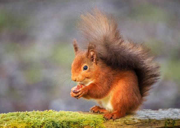 0_Smiling-red-squirrel
