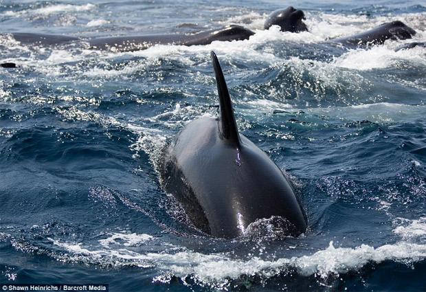 Orcas luchan