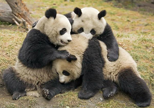 Pandas Abrazados Tiernos