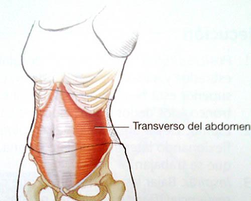 El músculo transverso abdominal: ¿Cómo funciona nuestra faja natural ...