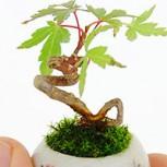 Conoce los bonsai ultra pequeños de 3 centímetros: Nueva tendencia en Japón