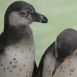 Matanza de Pingüinos causa indignación en Algarrobo