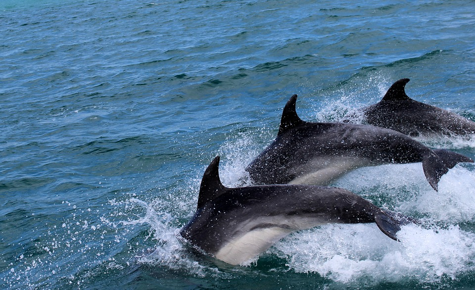 dolphins-2532975_960_720