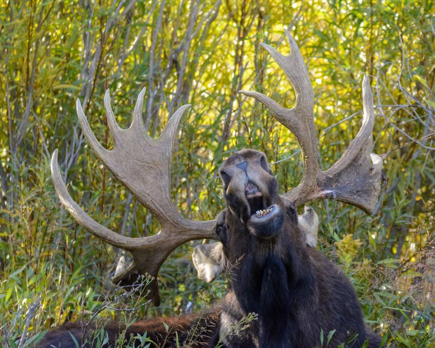 #25 The Singing Moose