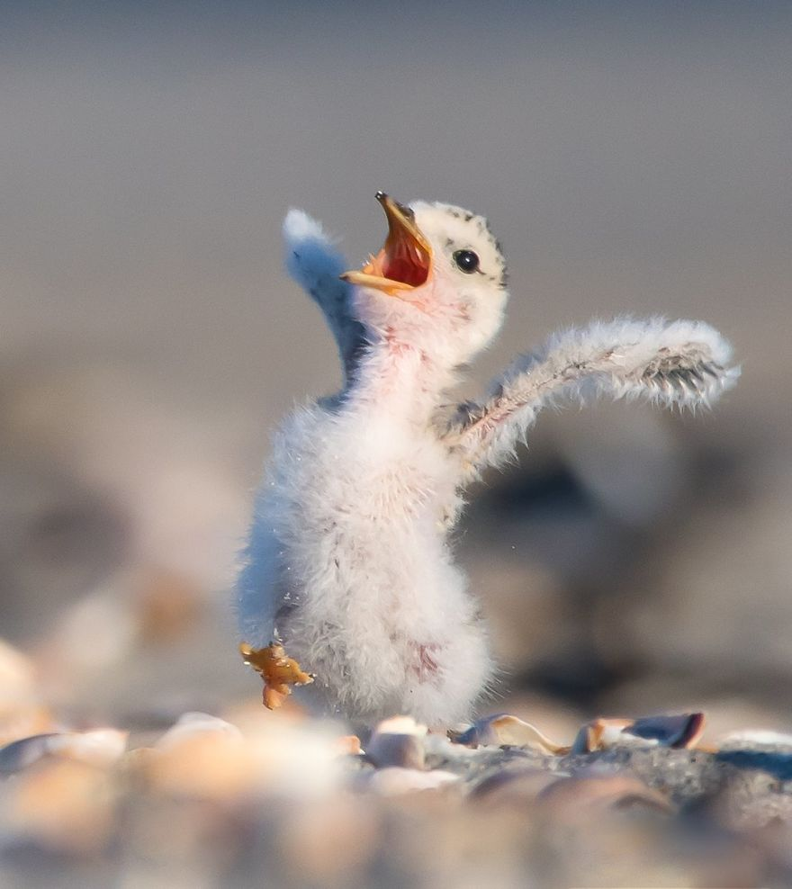 #34 Least Tern Chick