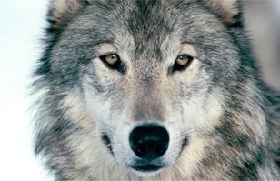 La Enigmática Foto De La Manada De Lobos De La Que Todos Hablan