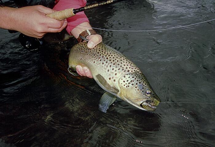 Una marrón o fario del Río Maullín, uno de los tres ríos de la región de Los Lagos para flotar y pescar con mosca
