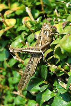 Saltamontes, orden de insectos Orthoptera