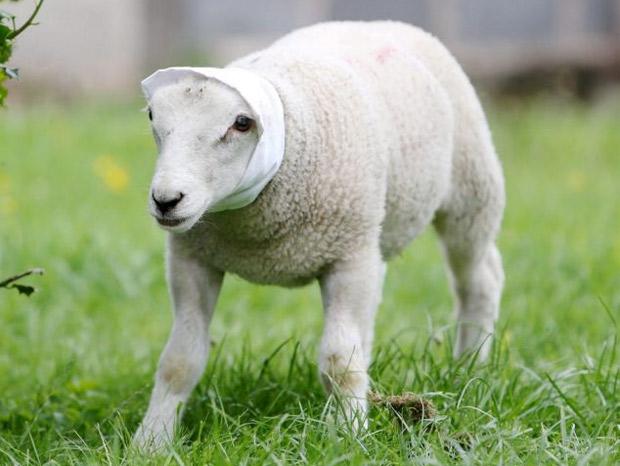 Ataque oveja