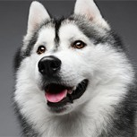 "Fans de ""Game of Thrones"" abandonan perros huskies: Protagonista les suplica que no lo hagan"