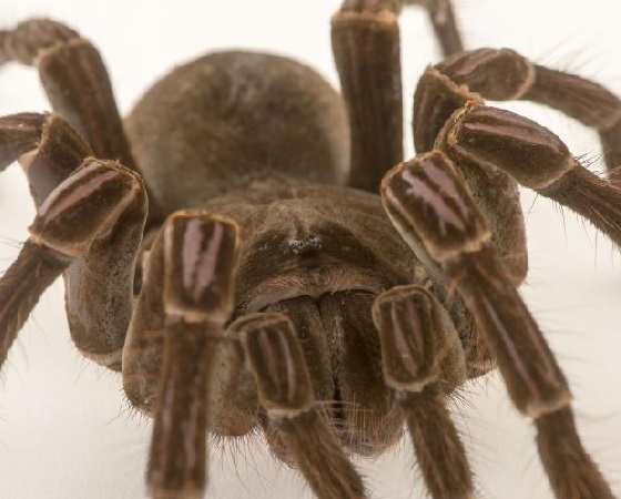 Theraphosa stirmi.