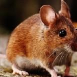 Identifican un roedor que se creía extinto desde el siglo XIX: Sorpresa entre los especialistas