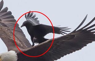 Sorprendente acierto fotográfico: Cuervo monta a águila en pleno vuelo