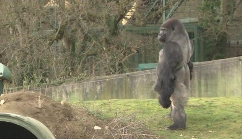https://gcdn.emol.cl/virales/files/2018/03/gorila.jpg